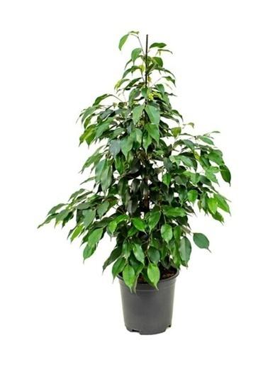 Çiçek Antalya Çiçek Antalya Benjamin Bitkisi 120 130 Cm Ficus Benjamina Danielle Salon Bitkisi Ofis Bitkisi Ev Bitkisi Yeşil